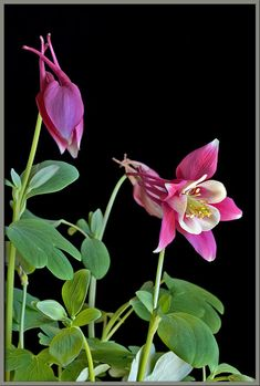 Mic-UK: A close up view of the columbine.