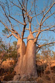 Calder Baobab