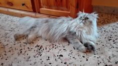 #Romeo the #persiancat #relaxed