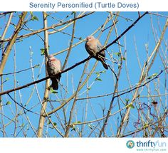 A close-up photo of two turtle doves on a tree branch.