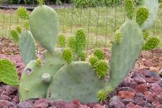 An incredible number of new pads on my 2-year-old prickly pear cactus.