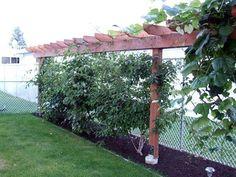 hardy kiwi vine - Google Search