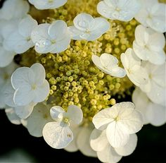 Hydrangea by Robert Schwartz on 500px