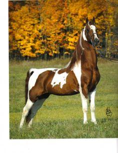 pinto show horse