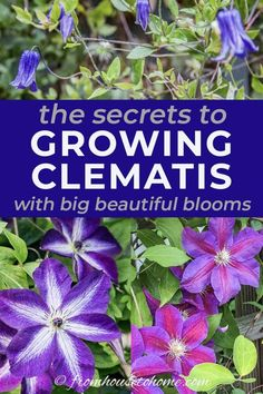 Clematis is an easy to grow perennial vine that thrives in part shade. With its huge blooms in pink, purple, red, white and blue, I think every garden should have at least one. Learn more about growing and pruning Clematis in your garden landscaping. #fromhousetohome #perennials #gardeningtips #gardenideas #vines #clematis
