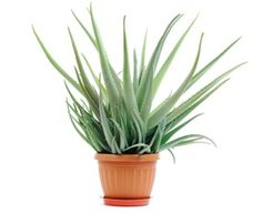 The Benefits of Aloe Vera: Skin Care, Digestion and More
