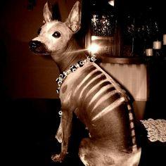 Dia De Los Muertos Dog Xolo  Hairless Dog Day of the Dead. Xolo and Photo by Giovanna Suedan. Mexico 2012