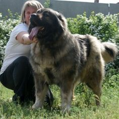 Caucasian Mountain Dog ALANIYA female