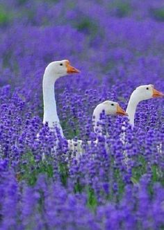 Geese in the beautiful lavender field <3