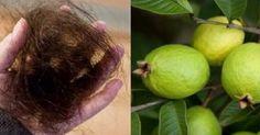 Queda de cabelo, feridas, bronquite, emagrecimento, colesterol... - Descubra todos os poderes da folha de goiaba!