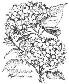 hydrangea line drawing - Bing Images Flower Line Drawings, Flower Sketches, Art Drawings, Colouring Pages, Coloring Sheets, Coloring Books, Fabric Painting, Watercolor Paintings, Floral Drawing