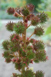 Ricinus communis fructus