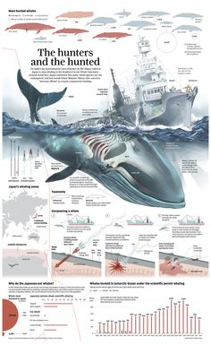 Futuristic Architecture Discover Whale Poaching in Japan [Infographic] Whale Hunting in Japan Infographic. Information Visualization, Data Visualization, Motifs Animal, Wale, Information Graphics, Marine Biology, Newspaper Design, Marine Life, Ecology