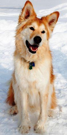 """Goberian"" Golden Retriever and Siberian Husky Mix Mixed Breeds: Gorgeous! Golden Retriever Mix, Retriever Puppy, Golden Retrievers, Shiba Inu, Beautiful Dogs, Animals Beautiful, Cute Animals, Samoyed, Pomsky"