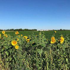 #Sonnenblumen #spaziergang #sonntag #morgen #sommer