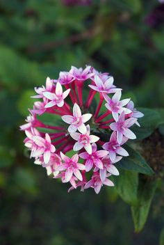 Pink Pentas Flower (Pentas lanceolata)