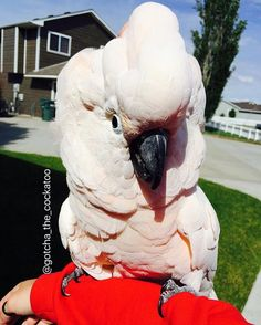 Gotcha the Moluccan Cockatoo. You Funny, Funny Gifs, Hilarious, Crazy Funny, Funny Videos, Funny Things, Animals And Pets, Funny Animals, Cute Animals