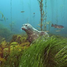 Photo by @BrianSkerry A young harbor seal peeks out from behind surf grass in a kelp forest on Cortes Banks a undersea mountain range located 100-miles off the coast of San Diego CA. Photographed #onassignment for @natgeo. @BrianSkerry will be presenting a special lecture of his work entitled Ocean Soul at the @Annenbergspace in Los Angeles on December 3rd! #seals #seadog #seamounts #nature #love #picoftheday #dreams #love @thephotosociety @natgeocreative by natgeo