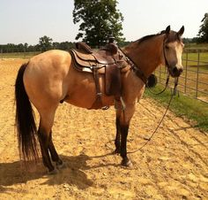 Buckskin gelding ranch/heel horse Reminds me of first horse I rode and loved - only it was a mare named Lady