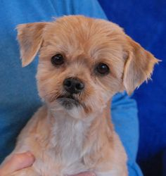 Toffee Peanut, a beloved little treasure, is debuting for adoption today at Nevada SPCA (www.nevadaspca.org).  She is a Shih-Tzu mix with honey coloring, about 6 years of age and spayed.  Toffee Peanut is affectionate and well-behaved.  She is compatible with dogs and mature kids, plus housetrained and crate-trained. We want to find this sweetheart a loving, stable, forever home.