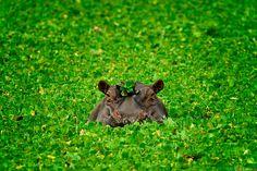 Hippo in a Bonnet - Kenya | by Rob Dweck