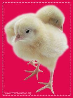 Chickens psd