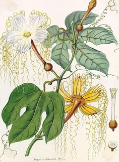 """From the book """"Joseph Hooker: Botanical Trailblazer"""" by Pat Briggs.  The beautiful plant illustrations and landscapes reproduced here from his journals are accompanied by reproductions of lithographs and paintings done by Walter Hood Finch."""