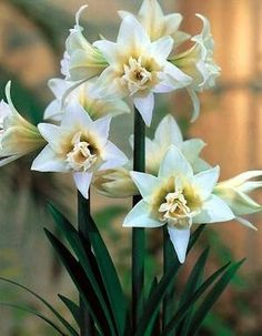 Giant Dutch Double Amaryllis Bulb 'Jewel' - 26/+ cm Bulb