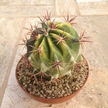 Ferocactus stainesi hybrid variegato
