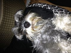 Good morning my name is Zackary and i'm a mini Schnauzer ,my mommy thought it would be cute to snap a picture of me just waking up in the morning, gosh I didn't even get a chance to brush my hair!!!! *
