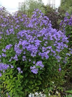 """Campanula lactiflora """"Milky Bellflower"""", zones full sun to part shade, tall x wide spread, good bloomer (idea for West side of Orchard Garden patio) Lavender Flowers, Wild Flowers, Cut Flowers, Shade Garden, Garden Plants, Horticulture, Endless Summer Hydrangea, Tall Plants, Plantation"""