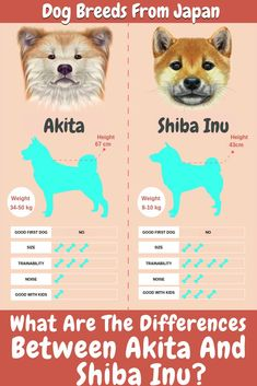 While both of these breeds are considered to be affectionate and independent, there are many differences between Akita Inu and Shiba Inu. Shiba Inu, Chien Akita Inu, Shiba Puppy, Akita Puppies, Samoyed Dogs, Akita Dog, Baby Puppies, Japanese Akita, Japanese Dogs