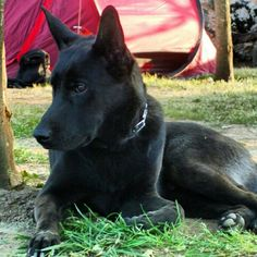 I'm your best friend ever. Black german shepherd