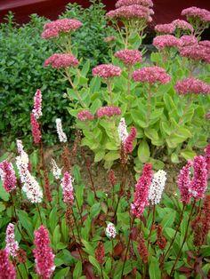 The front garden border (Polygonum affine 'Dimity')