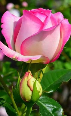 Lovely pink rose...