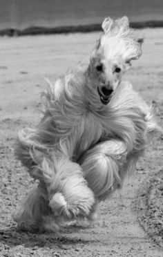 When an Afghan Hound runs at you to jump on you, it's like being hit with a Muppet.