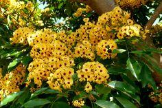 Cacho de flores de Pau-Brasil