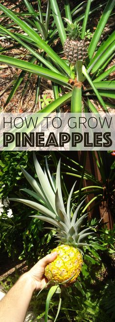 All you really need to start growing your own pineapples is a pineapple and some dirt (and a pot if you live in a colder climate).