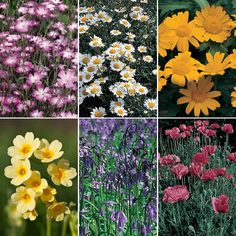 Wildflower Collection - Hardy Annual Seeds - Thompson & Morgan