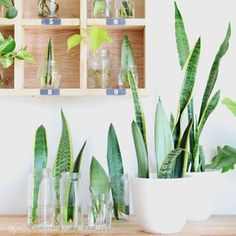 Easy Snake Plant care tips such as sun light, soil, water, temperature, & propagation. How to grow beautiful healthy Sansevieria plants indoors & outdoors! – A Piece of Rainbow #indoorplants #snakeplants #propagation indoor plants, houseplants, gardening, bohemian, living room ideas, boho home décor, #houseplants #gardening #gardeningtips #containergardening #diy #bohemian #bohemiandecor #bohochic #boho #homedecor #homedecorideas boho #bedroom #livingroom Propagating Hydrangeas, Distressed Wood Furniture, Snake Plant Care, Sansevieria Plant, Herb Garden In Kitchen, Diy Bed Frame, Cold Frame, Vegetable Garden Design, Diy Greenhouse