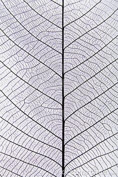 Black leaf vein pattern