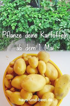 Kartoffeln pflanzen – So gelingt dir eine reiche Ernte. Kartoffeln pflanzen im… Plant potatoes – How to make a rich harvest. Planting potatoes in the garden, on the balcony in a pot or in a sack. You can always put… Continue reading → Bog Garden, Backyard Vegetable Gardens, Container Gardening Vegetables, Vegetable Garden Design, Water Garden, Shade Garden, Harvest Garden, Tomato Garden, Spring Garden