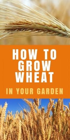 Growing Vegetables How to grow wheat in your garden - GROW WHEAT: Teaching kids where their food comes from is super important. You can grow wheat, grind it and make it into bread yourself. Wheat will grow right in your vegetable garden. Make Your Own Flour, Grow Your Own Food, Growing Tomatoes In Containers, Growing Vegetables, Grow Tomatoes, Growing Wheat, Organic Gardening Tips, Urban Gardening, Gardening Hacks