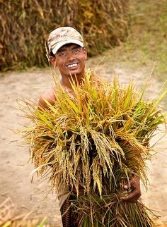 Reaping the rice paddy harvest, near Dkaka, Bangladesh