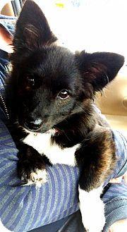 Pomchi puppy. Pomeranian and chihuahua mix. ❤