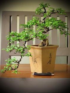 Thanks nature's Hobby : Bonsai บอนไซ shohin mame miniature Jade Plant Bonsai, Succulent Bonsai, Jade Plants, Bonsai Plants, Bonsai Garden, Lush Garden, Bonsai Jacaranda, Bonsai Pruning, Bonsai Forest