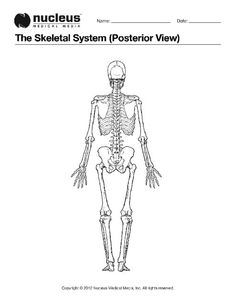 Skeletal System Diagram Without Labels Printable Human