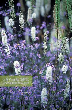 GAP Gardens - Actaea simplex 'Pritchards Giant', Cohosh and Aster turbinellus - Image No: 0031559 - Photo by Richard Bloom Companion Planting, Aster, Garden Plants, Wild Flowers, Beds, Bloom, Stock Photos, This Or That Questions, Photography