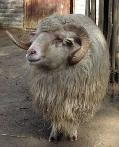 Navajo Churro Ram.    The Navajo Churro sheep is the oldest U.S. breed with the most animals located in New Mexico. They were imported to North America in the 16th century to feed Spanish armies. This breed is hardy and adaptable, intelligent, has delicate meat, and double coat wool for yarn used in Navajo weaving. Churro thrived in the Southwest and were kept by the Navajo along the Rio Grande Valley in the 17th century. They became an important part of Navajo culture,