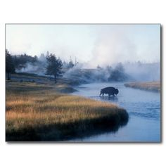 Bison crossing the Firehole River, Yellowstone Postcard